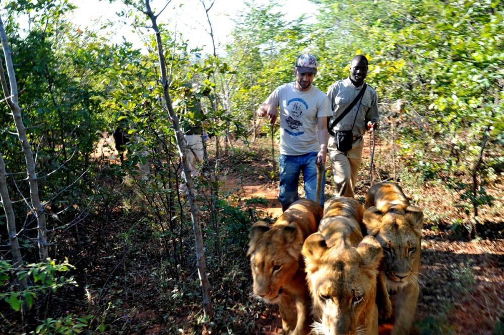 Løver som husdyr